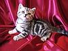 ...шотландскую кошечку редкого