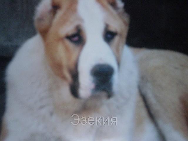 ...собак с фотографиями, помесь чихуахуа и той терьера фото и той терьер.