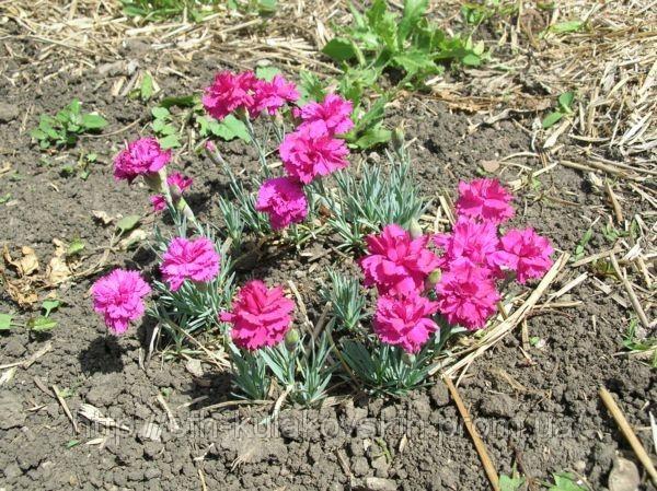 Гвоздика гренадин посадка и уход когда сеять семена